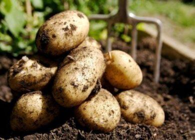 Що посадити після картоплі