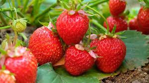 Секрети вирощування полуниці. Як отримати хороший урожай