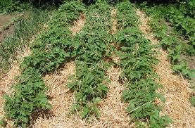 Вирощування картоплі в соломі – методика ледачого городника