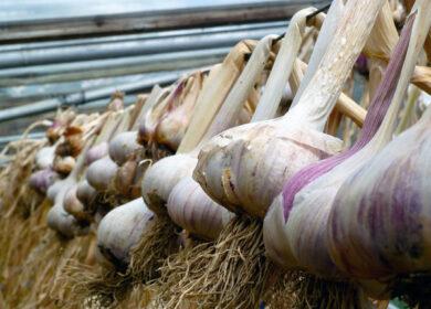 Важлива підгодівля часника в травні для прискореного зростання і нарощування великих цибулин